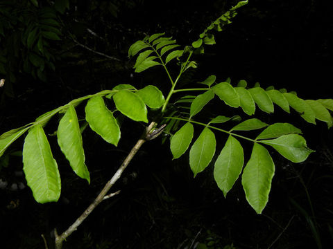Leaves-of-Spanish-Plum