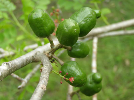 Unripe-Spanish-Plum-on-the-plant