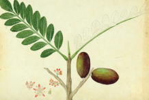 Plant-Illustration-of-Spanish-Plum