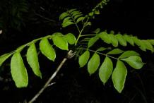 Leaves-of-Spanish-Plum