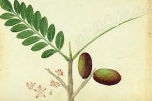 Plant-Illustration-of-Spanish-Plum