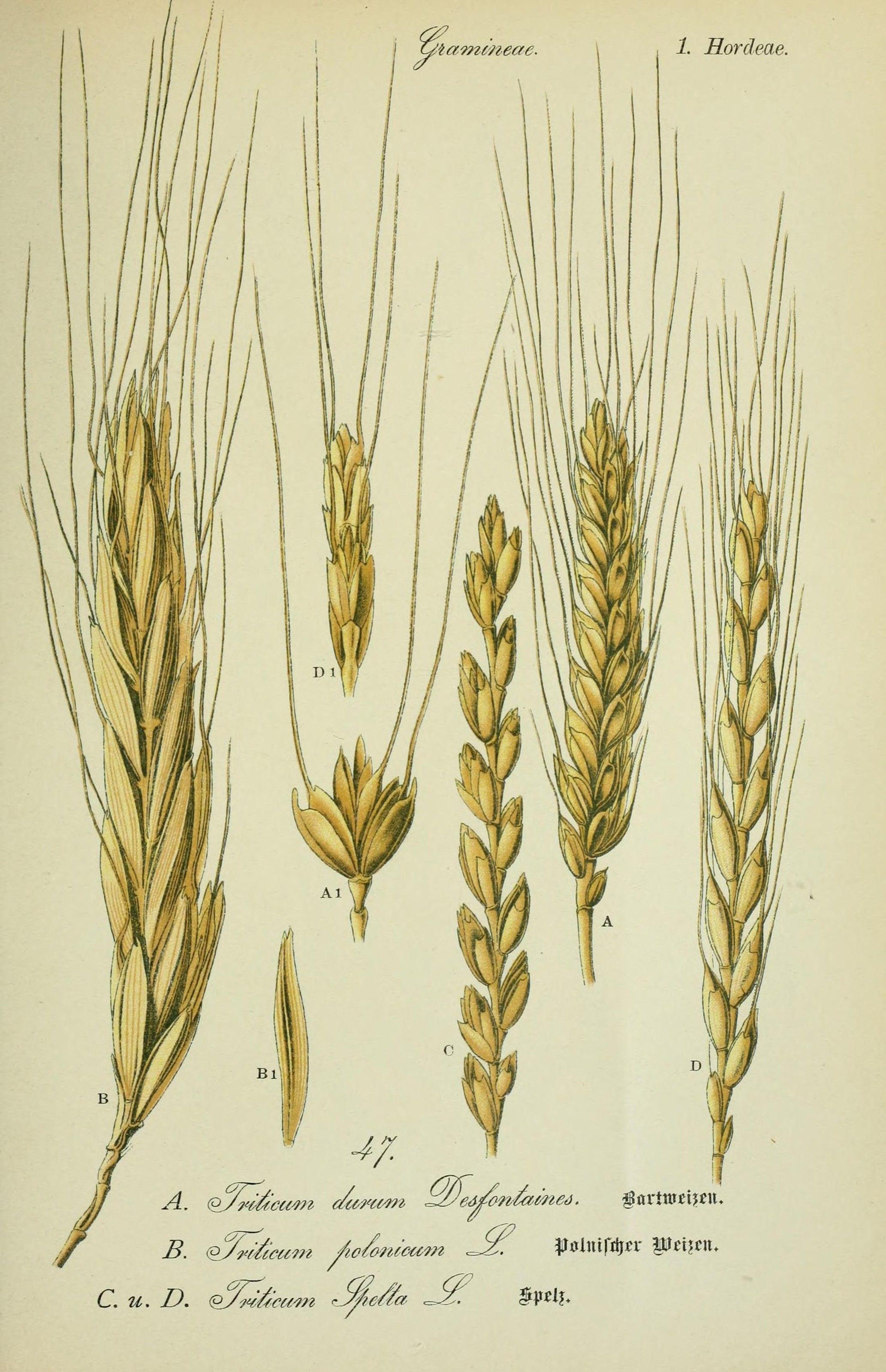 Plant-illustration-of-Spelt