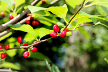 Ripe-Fruit-of-Spicebush
