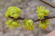 Flower-of-Spicebush