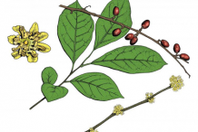 Plant-Illustration-of-Spicebush