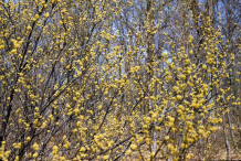 Spicebush--Plant-growing-wild