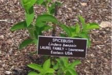 Spicebush--plant