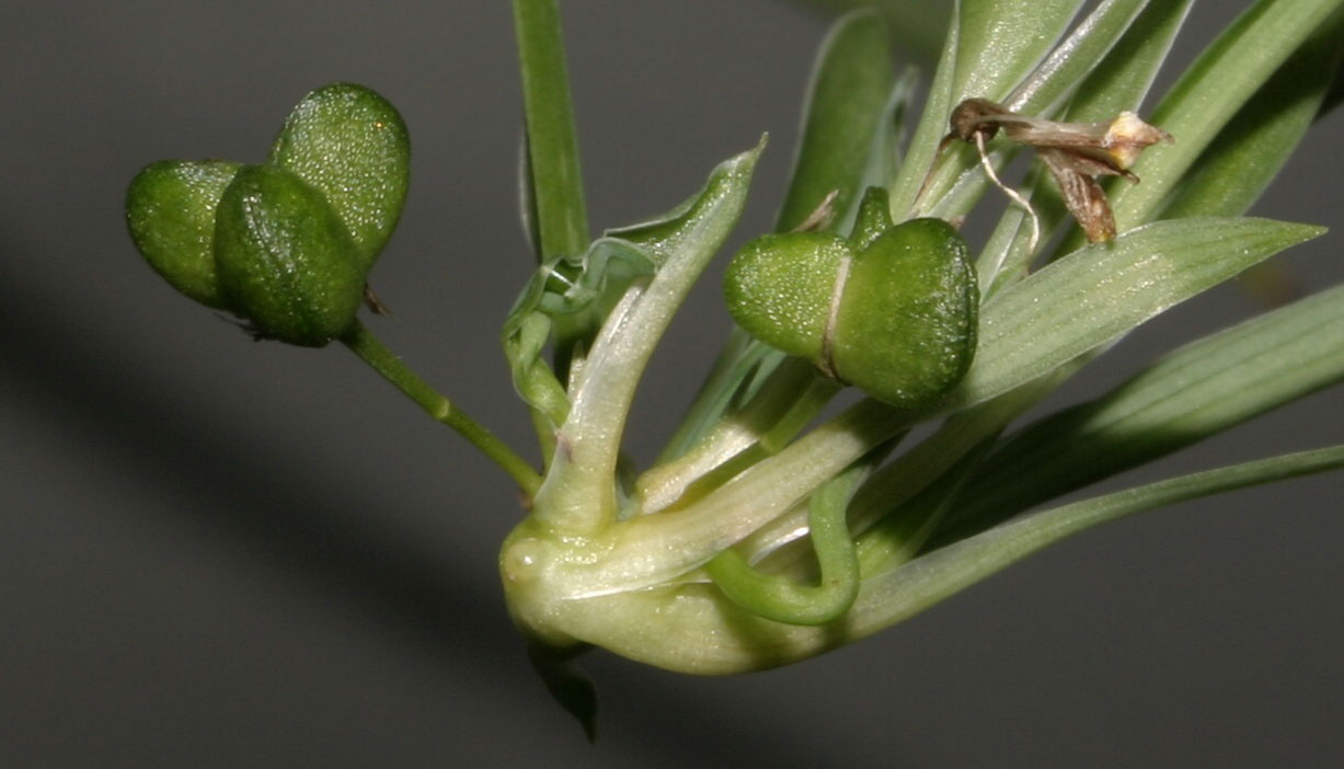 Fruits-of-Spider-Plant