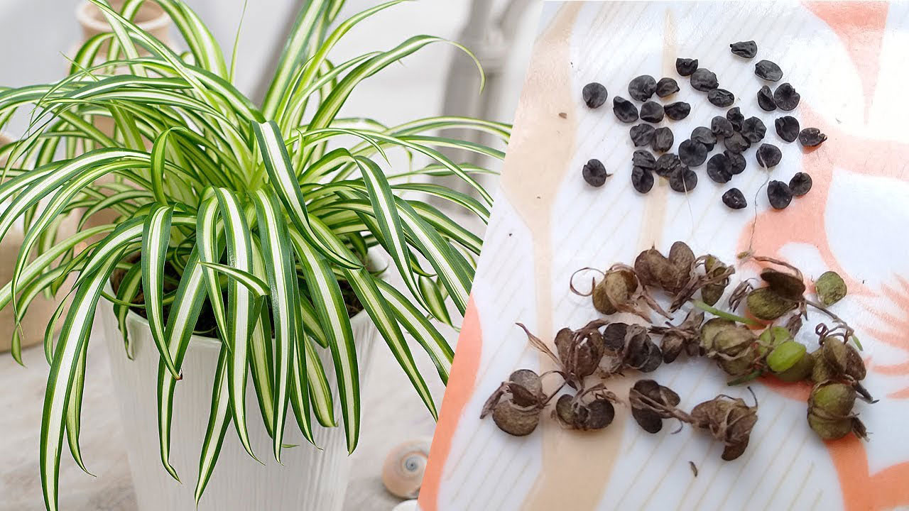 Seeds-of-Spider-Plant