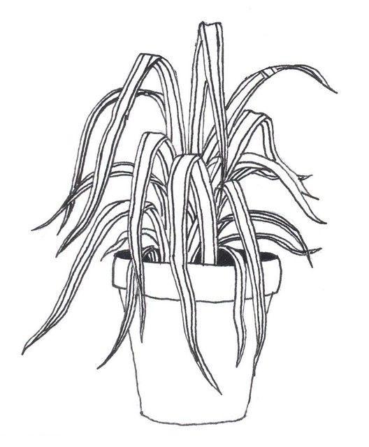 Sketch-of-Spider-Plant