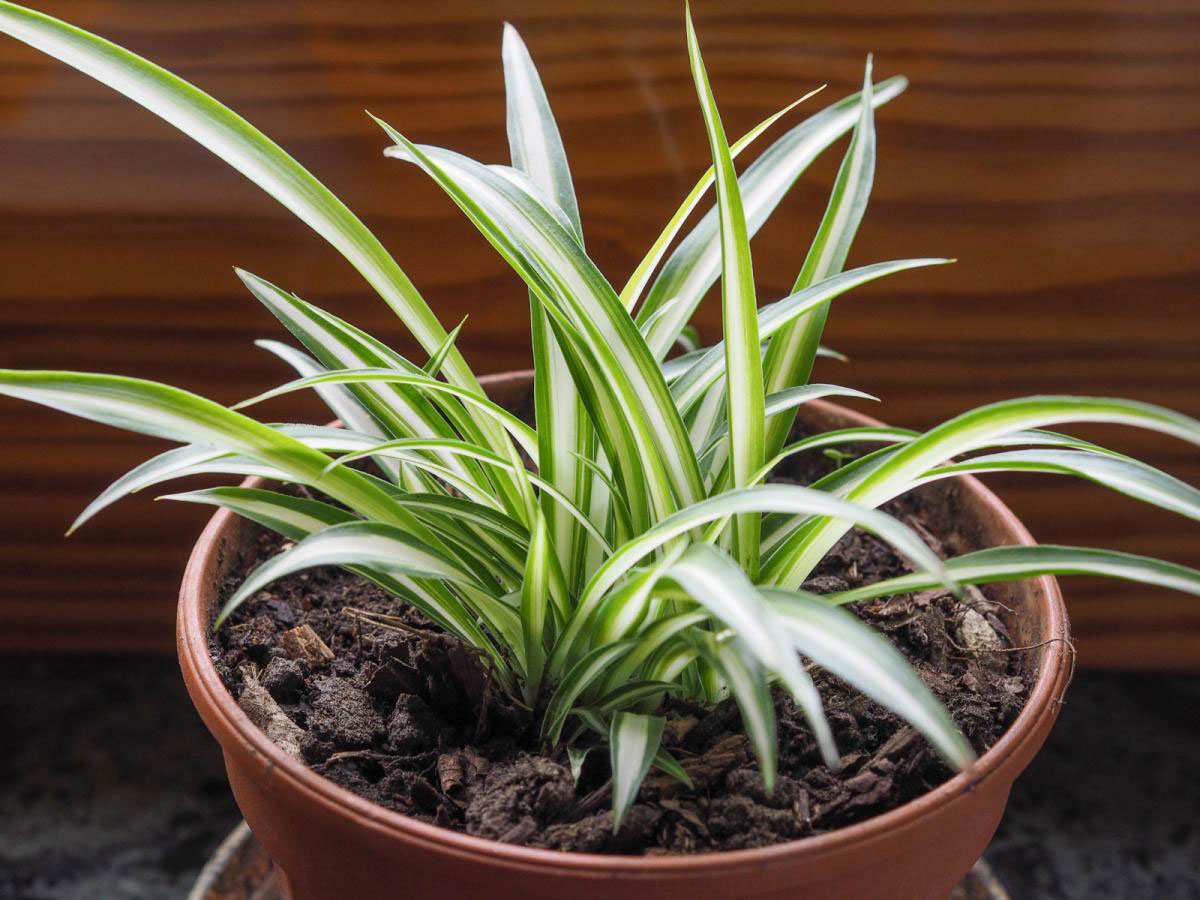 Small-Spider-plant