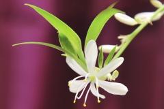 Flower-of-Spider-Plant