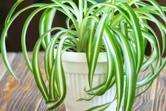 Leaves-of-spider-plant