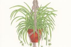 Plant-illustration-of-Spider-Plant