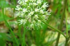 Close-view-of-Spignet-flower