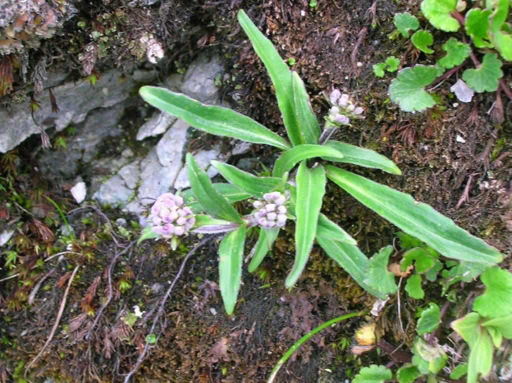 Spikenard-plant