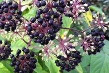 Fruits-of-Spikenard