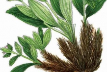 Plant-illustration-of-Spikenard