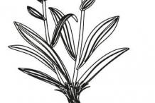 Sketch-of-Spikenard