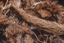 Roots-of-Spikenard