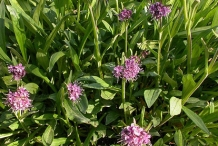 Spikenard-plant-growing-wild