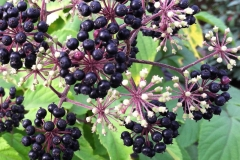 Fruits-of-Spikenard
