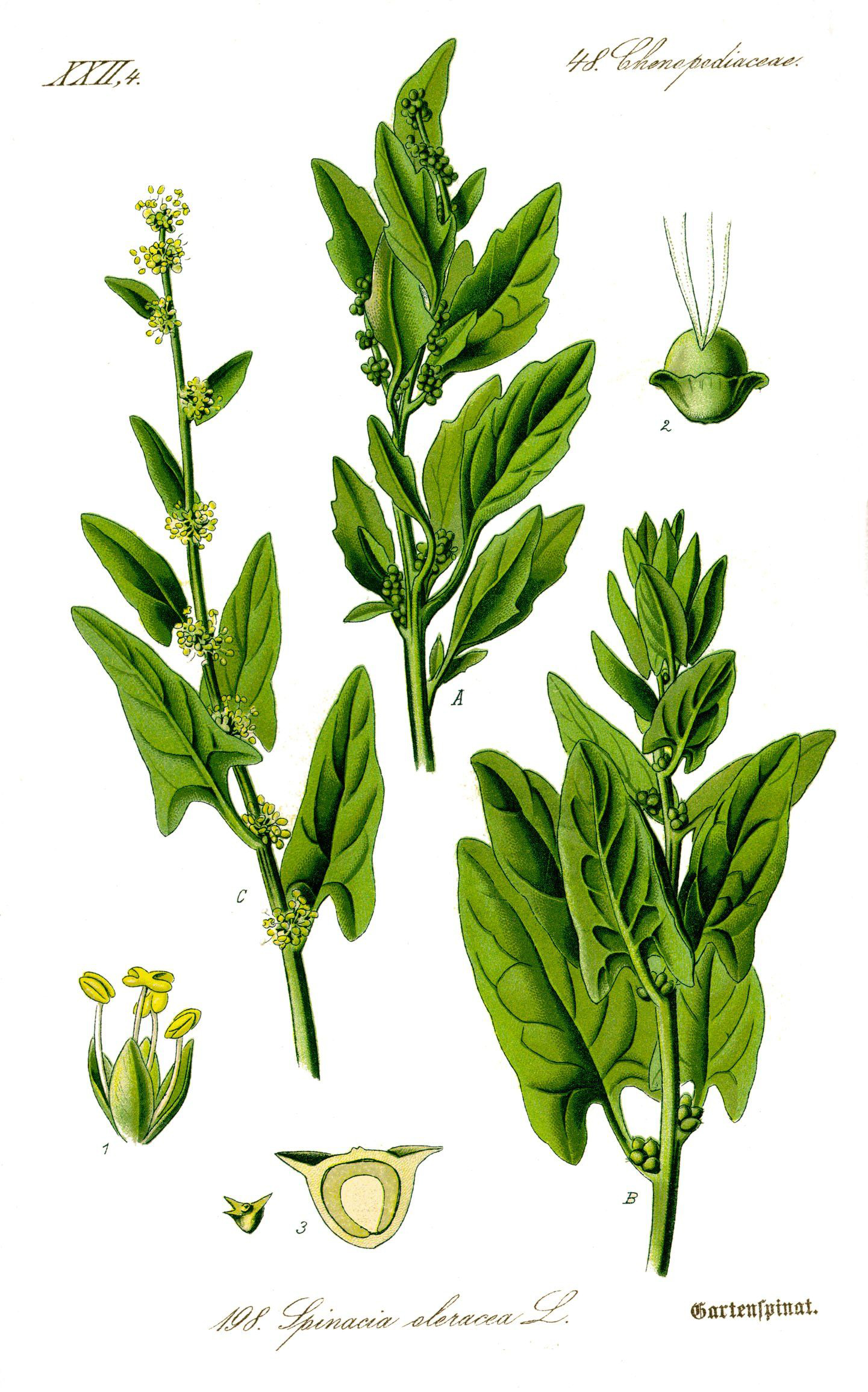 Plant-illustration-of-Spinach