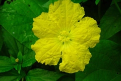 Closer-view-of-Flower-of-Spiny-Gourd