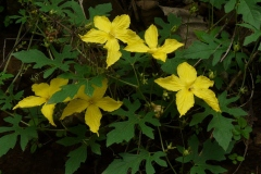 Flowers-of-Spiny-Gourd