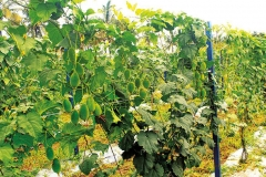 Spiny-Gourd-plant