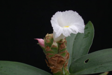 Flower-of-Spiral-Ginger