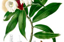 Plant-Illustrations-of-Spiral-Ginger