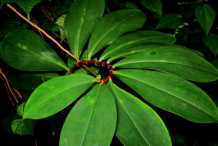 Leaves-of-Spiral-Ginger