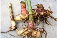 Rhizome-of-Spiral-ginger