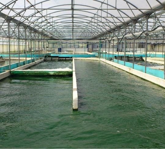Spirulina-farming