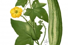Plant-illustration-of-Sponge-gourd
