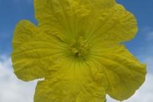 Close-up-flower-of-Bitter-gourd