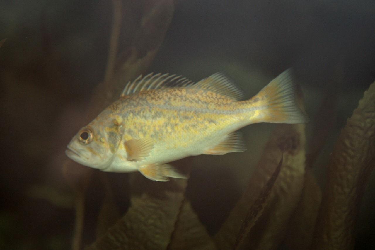 Spot-fish