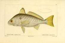 Illustration-of-Spot-fish