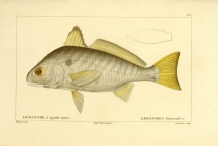 Illustration-of-Spot-fish