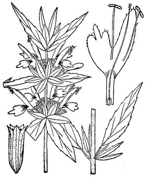 Sketch-of-Spotted-Beebalm