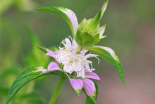 Flower-of-Spotted-Beebalm