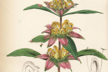 Plant-Illustration-of-Spotted-Beebalm