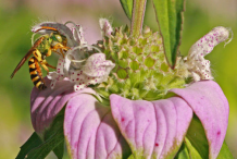 Closer-view-of-Spotted-Beebalm-flower