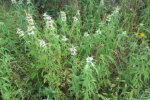 Spotted-Beebalm--plant-growing-wild