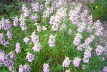 Spotted-Beebalm-plant