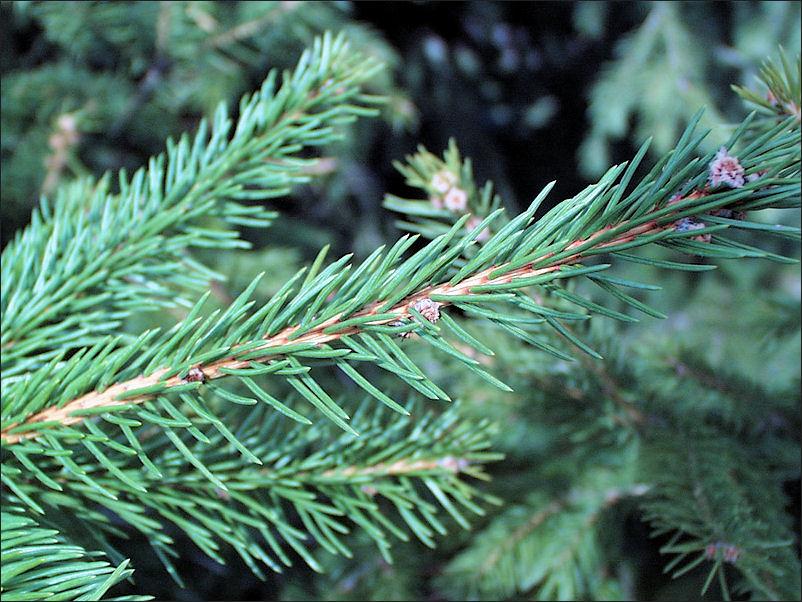 Leaves-of-Spruce tree