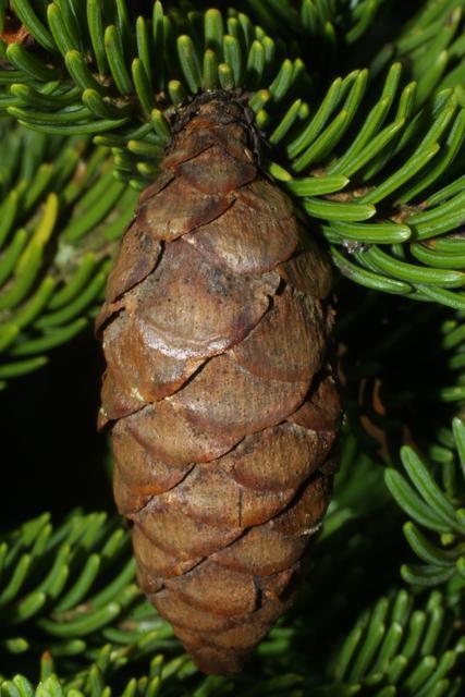 Mature-fruit-of-Spruce tree