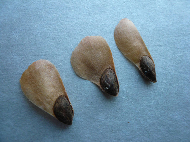 Seeds-of-Spruce tree