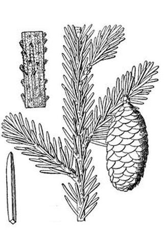 Sketch-of-Spruce tree